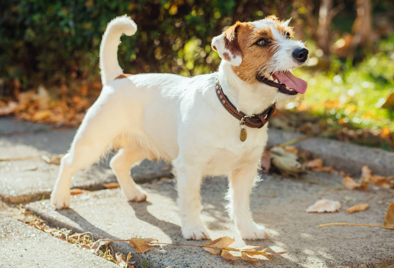 Portrait of trained Jack Russell puppy standing outdoor looking aside stick out tonique and smiling waiting for command from owner. Cute small domestic dog, good friend for a family and kids.
