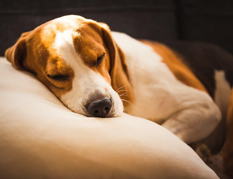 Beagle sleeping comfortably on a dog bed