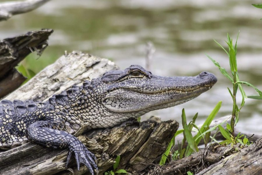 a young alligator in a swamp